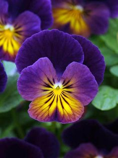 Viola Northern Lights -- Bluestone Perennials A natural display of shimmering color! The vibrant purple flowers with cheery yellow and orange glowing faces are star performers. Fragrant flowers bloom profusely in spring and fall with