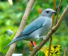 Sugestão de espécies para atrair pássaros