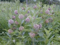 "The common milkweed, A. syriaca, is the plant that most people associate with the word ""milkweed"".  This is a tall and conspicuous species that sometimes forms large clones. The umbels bear large balls of ink to purplish flowers that have an attractive odor."