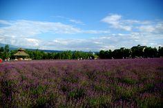 ラベンダー畑。  (Lavender garden.)