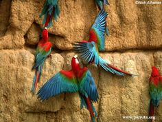 Red-and-green Macaw   World Parrot Trust