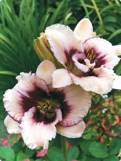 Reblooming Daylily Blueberry Sundae.     Day lilies are my favorite!!!!