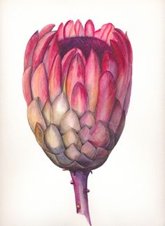 Protea by Belinda Noble Botanical Drawings, Botanical Illustration, Botanical Prints, Protea Art, Protea Flower, Painting Flowers, Watercolor Flowers, Watercolor Art, Australian Native Flowers