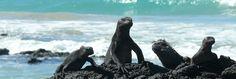 Iguanas auf der Insel Isabela, Galapagos