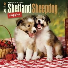 Shelties Collies, Miniature Sheltie, Favorite Sheltie, Puppies Dogs ...