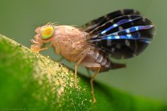 Picture-winged fly by Rundstedt B. Rovillos