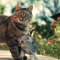"""* * MOM CAT: """" She'z just a kitten ands I would nevers take her to Disneyland. Dat Mickey Mouse died of cancer anyway."""""""