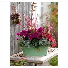 Green metal container of Cyclamen persicum 'Miracle Purple', Imperata cylindrica 'Red Baron', Heuchera 'Mahogany' and Sedum in Autumn