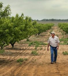 Fredericksburg peaches are scarce in Austin grocery stores right now, because a trifecta of drought, late freeze and hail have decimated the Hill Country peach crop. Click through to read more: