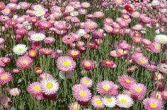 Australian spring flowers google search field of flowers australian spring flowers google search mightylinksfo