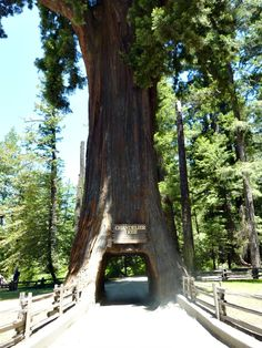 drive thru tree 2