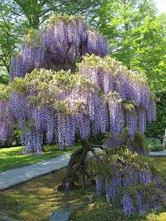Wisteria...love the look ..hate the plant!  It is invasive..seriously invasive  can grow up the porch  into the attic...guess how I found that out...sigh...