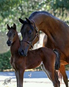 Arabian mare and foal. How can you tell there Arabian?!?!? The BEAUTIFUL head the Arabians are FAMOUS for!!!!!