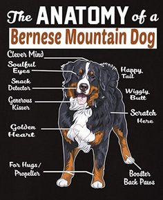 Anatomy of a Bernese Bermese Mountain Dog, Mountain Dogs, Cute Puppies, Dogs And Puppies, Cute Dogs, Doggies, New Puppy, Puppy Love, Bernese Dog