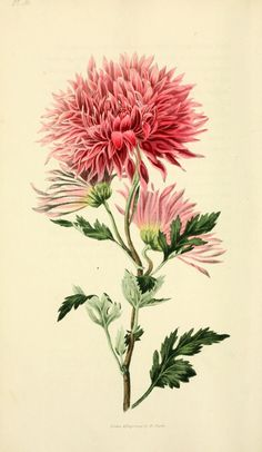 R. Morris, Flora conspicua, 1826. The 19th century was an era of collecting and classifying in Victorian England. The Language of Flowers, a type of flower dictionary, made popular the idea that flowers could be read for symbolic content (and sometimes convey secret messages). The idea of the birth month flower comes from this long tradition. Today, florists and flower enthusiasts continue to assign flowers to birth months. The chrysanthemum is the birth month flower for November. NM