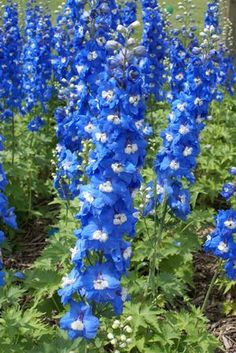 Flowers On Pinterest Perennials Annual Plants And Blue