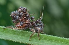Why does the assassin bug wear the corpses of ants on its back? As a disguise! Scientists think spiders, the bug's main predator, may avoid an assassin bug covered in ant corpses because they can't identify it as a potential meal. Shield Bugs, Weird Insects, Glass Cages, Leafhopper, Sense Of Sight, Jumping Spider, Chenille, Nymph, Assassin