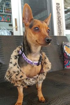 Elena is an adoptable Dog - Miniature Pinscher & Dachshund Mix searching for a forever family near New York, NY. Use Petfinder to find adoptable pets in your area.