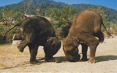 Elephants doing handstands.