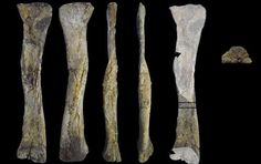 Various views of the lower leg bone of an indeterminate Titanosauriform from Brazil.