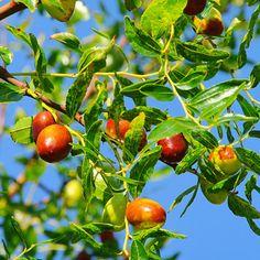 Li Jujube Tree for Sale