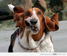 Basset Hound running - Perfectly timed photo of a funny Basset Hound dog making funny faces while running.