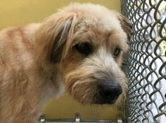 13-year-old friendly Wheaten terrier dumped at shelter: Time is soon to end