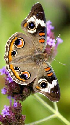 Ojo de tigre. Bellezón volador! #butterflies #mariposas