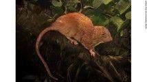 新種の大ネズミビカソロモン諸島で発見