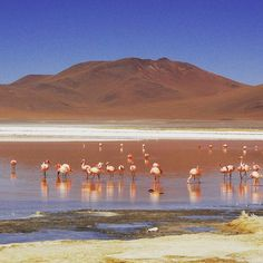 Viewing flamingos in the wild in Reserva Nacional Los flamenco in Atacama, Chile is a truly magical experience. It's home to three of the world's flamingo species: the Andean, Chilean and James flamingo. Flamingos eat an algae rich in beta carotene whi Bolivia, Desert Environment, Cycle Ride, Rare Species, Light Pollution, Cultural Experience, Travel Companies, Holiday Destinations, Stargazing