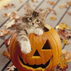 Ce Maine Coon est parfait dans cette citrouille d'Halloween ! On pourrait presque dire qu'il prend la pose, et qu'il est heureux de se trouver dans cette lanterne, censée effrayer les passants. Pas sûr que la peur soit l'effet obtenu si ce chat reste campé dans sa citrouille … Article publié pour la première fois ...