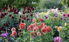Dahlien zählen als farbenprächtige, blühfreudige Sommerblumen zu den beliebtesten Gartenpflanzen. Mit diesen Pflegetipps trimmen Sie die mexikanischen Schönheiten auf maximale Blütenpower