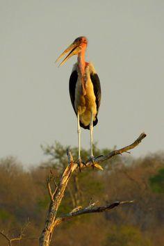 Maribou Stork, Kruger NP, oct 6, 2016.IMG_28261