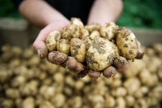 There are potatoes....and then there are Jersey Royals! Simply head and shoulders above the rest! Gorgeous.