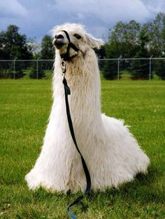 This llama is hoping to transition from modeling to pop music as soon as possible.
