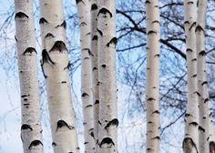 Winter Birch Trees | HOW TO: Prepare Healing Teas from Winter Trees Birch trees in winter ...