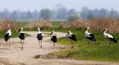 Storks in Biebrza National Park, Poland