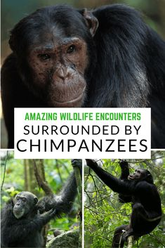 In Tanzania's Mahale Mountains National Park, amazing wildlife encounters are almost guaranteed. Read more about chimpanzees sightings at https://www.safaribookings.com/blog/148