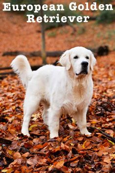 european golden retriever Gold Retriever, Golden Retriever Breed, Retriever Puppy, Top Dog Breeds, Akc Breeds, Large Dog Breeds, American Labrador, Purebred Dogs, Free Dogs