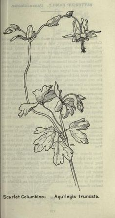 Aquilegia truncata (1912), by Margaret Armstrong (1867-1944), published in Field…