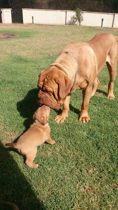 French Mastiff and pup. Gorgeous breed, want this so bad!