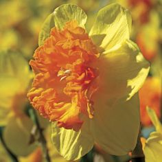 Wild Carnival Daffodil - Pack of 10 (Narcissus Wild Carnival) at Wayside Gardens
