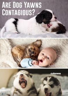 Pretty much everyone has heard the old adage that yawning is contagious. Contagious yawning is an actual, legit thing. And it's a much bigger deal than you might realize. Dog Yawning, Old Adage, Cute Dog Pictures, Dog Pin, Dogs And Puppies, Doggies, Cute Dogs, Your Dog, Dog Lovers