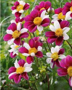 Dahlia à fleurs d'anémone 'Smarty', ravissante variété aux fleurs bicolores, idéale pour animer vos massifs et surtout composer de beaux bouquets colorés.
