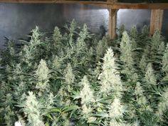 Click for closeup of marijuana buds grown indoors
