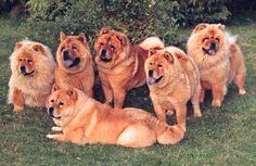 Chow chow babies <3   #chowchowdogs