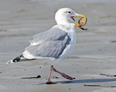 A few tips to help you identify some common gulls
