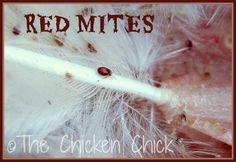 Red Mites, Chicken Mites, Poultry Mites