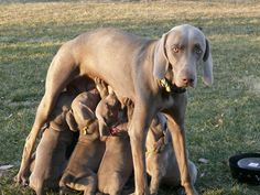 momma dog, Ashes the weim
