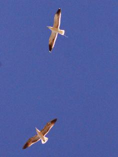 Ensenada de Barragán: Gaviotas y rapiñas en los cielos de Ensenada